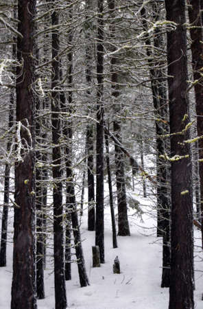 Vertical image of lodgepole pines standing in the snow while snow gently falls.