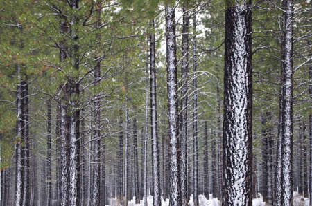 Hundreds of straight, tall Pine trees in a forest in the snow.
