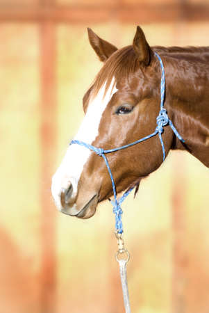 Headshot of a beautiful sorrel (chestnut) Quarter Horse against an out of focus barn door, wearing a blue rope halter.