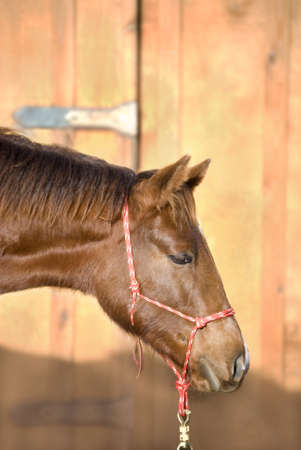 An interested young sorrel (chestnut) quarter horse foal looks attentively off camera, against an out of focus barn door.