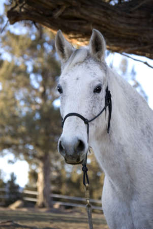 Attentive grey horse engaging viewer with attentive eyes and ears. Stock Photo