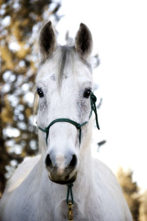 Pretty Flea-Bitten Grey Horse looking attentively at viewer
