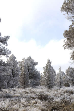 Juniper trees, sage and other high desert plants in Central Oregon covered in Hoar Frost from Ice Fog and a partially blue cloudy sky.