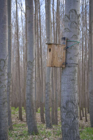 Birdhouse strapped to a Poplar Tree in a poplar grove.