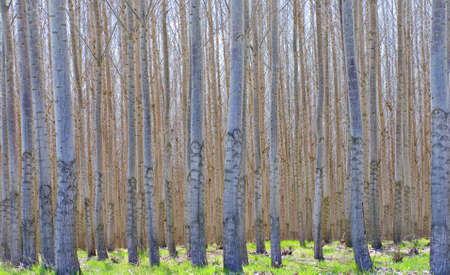 Thousands of hybrid Poplar trees - Populus Alba - growing in a commercial forest, with green grass on the ground.