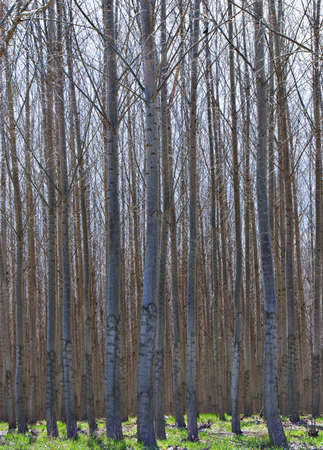 VerticaL image of a hybrid Poplar commercial grove of trees in Eastern Oregon. Stock Photo