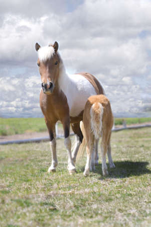 Beautiful pinto miniature horse mare and her nursing foal in a fiel against cloudy skies.