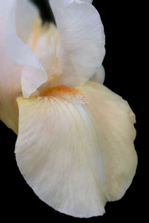 Apricot bearded iris on black.  Shallow DOF.  Focus on beard and fall. Banque d'images