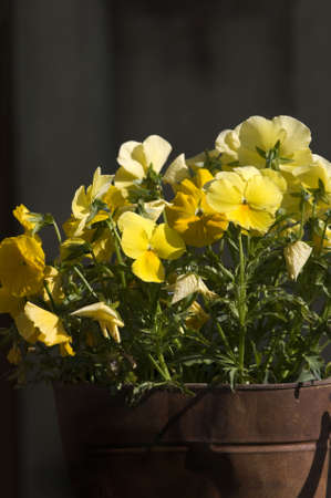 An old rusty tin can serving as a flower pot for some cheerful yellow pansies.