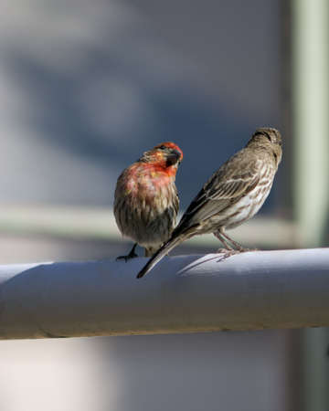 A male (red colored) House Finch interacting with a female House Finch.  The male is in focus. Stock Photo