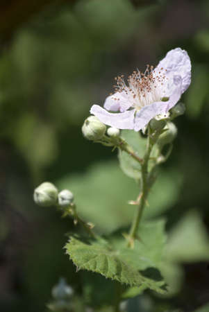 rosoideae: Wild blackberry bramble with a bloom against green mottled background.