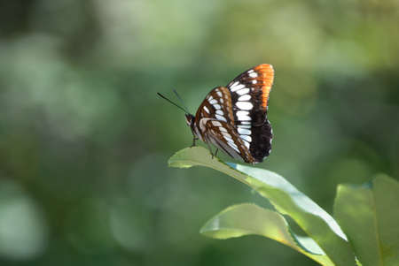 A pretty Lorquins Admiral Butterfly showing both top and underside of wings, perched on a leaf with a mottled green background. Stock Photo