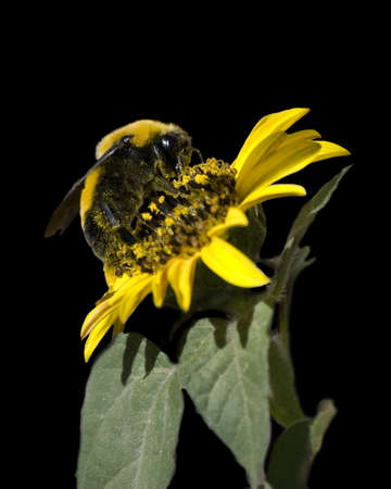 Bumble bee covered in pollen feeding on a yellow sunflower against a black background. Фото со стока - 5586021