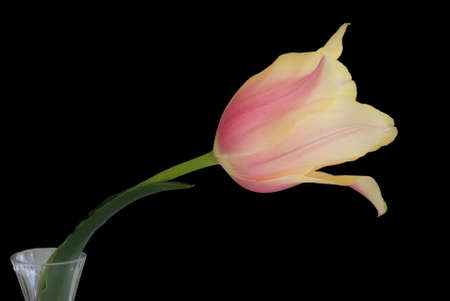 Horizontal image of a single yellow and pink tulip in a crystal bud vase on a black background. Zdjęcie Seryjne