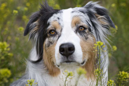 Horizontal closeup headshot of a blue merle Australian Shepherd in a field of yellow flowers.  Sharp focus on eyes, shallow depth of field. photo