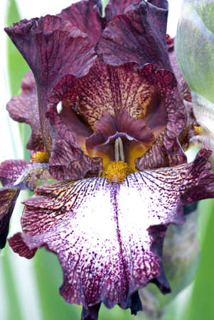 A close up view of the details of a bearded iris.