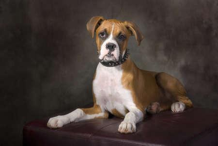 Ritratto di un cucciolo boxer con un collare di spillo. Archivio Fotografico - 7748649