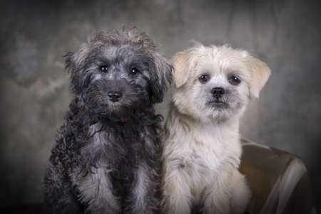 Two cute mixed breed puppies sitting next to each other.