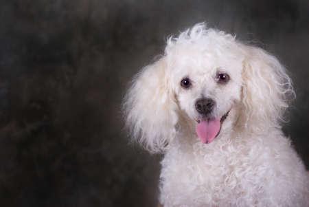 A head and shoulders portrait of a miniature poodle.