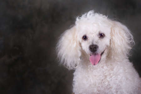 A head and shoulders portrait of a miniature poodle.