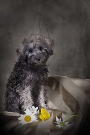 Low-key portrait of a 3 month old Schnoodle (SchnauzerPoodle) puppy.