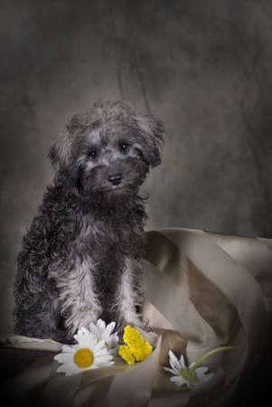 Low-key portrait of a 3 month old Schnoodle (SchnauzerPoodle) puppy. photo