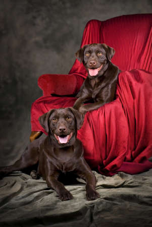 A vertical portrait of two, one-year old chocolate labs.