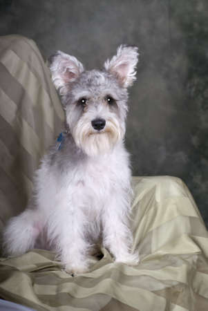 A portrait of a cute salt and pepper Schnauzer sitting in a chair against a green background.
