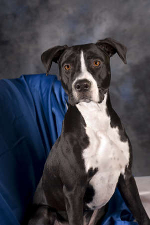 A vertical portrait of a 10 month old black and white pit bull terrier against a blue background.