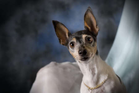 A horizontal low-key studio portrait of a Toy Fox Terrier against blue. Stock Photo - 8602591