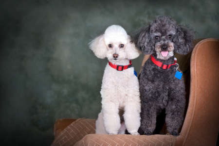 A studio portrait of a black poodle and a white poodle.