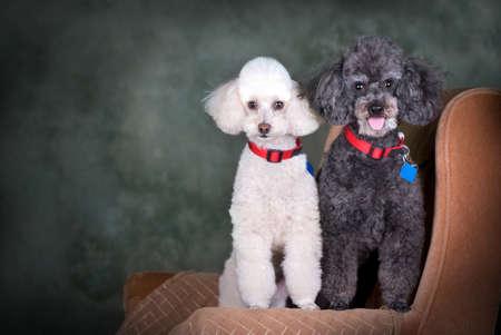 A studio portrait of a black poodle and a white poodle.