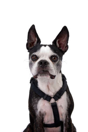 boston terrier: A cute black and white Boston Terrier wearing a harness against a 255 white background.  The dog is looking at the camera with a curious expression with his mouth closed.