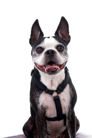 boston terrier: A cute Boston Terrier wearing a harness against a 255 white backgroung.  The dog has his tongue out in a pant and appears to be smiling.