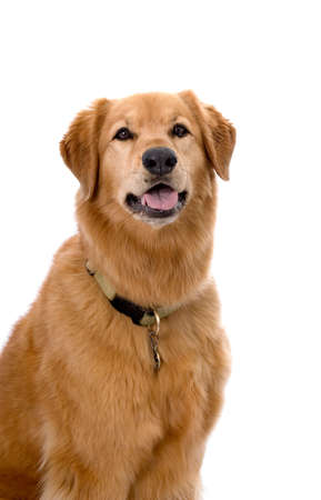 dog collar: Head and shoulders portrait of a pretty Golden Retriever mixed breed dog on a 255 white background. Stock Photo