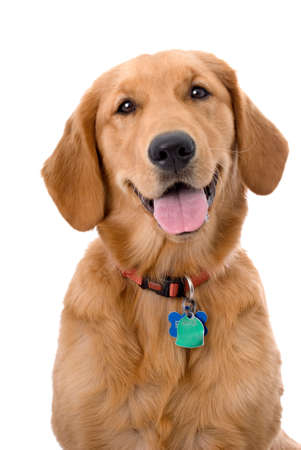 Head and shoulders portrait of a very pretty young Golden Retriever against a 255 white background.  The dog is wearing a collar and tags.