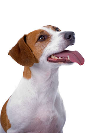 A very cute Jack Russell Terrier against a 255 white background looking camera right and panting.