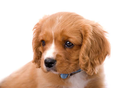 An adorable 6 week old King Charles Cavalier puppy gazing camera left.