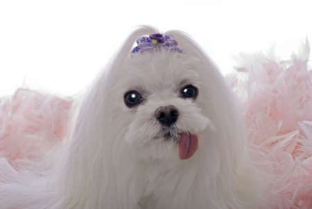 A head study of a cute Maltese dog in a bed of pink feathers against a white 255 background. photo