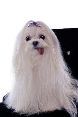 white maltese: A very cute white maletese dog with her tongue hanging out sitting on a black velvet chair against a 255 white background.