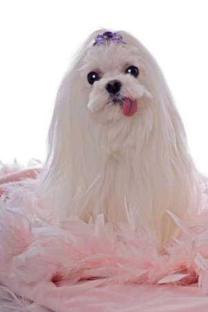 A cute white maltese dog sitting on a bed of pink feathers against a white 255 background, with her tongue hanging out.