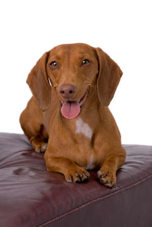 A very cute red short-haired Dachshund lying on a burgundy leather chair against a 255 white background, looking directly into the camera. Stock Photo
