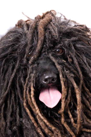 Close up head study of a Puli dog on a 255 white background.  The dog is panting with his tongue out and you can actually see his eyes.