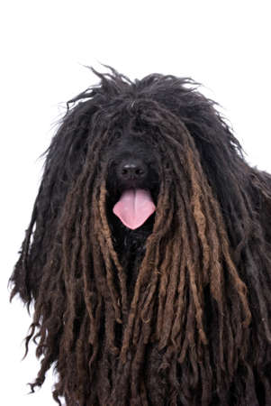 dreadlock: Head and shoulders portrait of a Purebred Puli on a 255 white background.