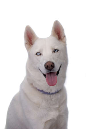 Head and shoulders shot of a beautiful white Siberian Husky with blue eyes against a 255 white background.  Shot in studio. Stock Photo - 10396625