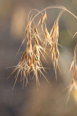 Macro shot of ripe, dried cheat grass in the late afternoon sunlight. Stock Photo