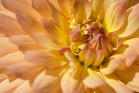 Macro of a field blooming dahlia with orange, peach, yellow and red tones.  Shallow depth of field with sharp focus on the curled petal at the blossom