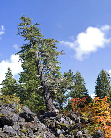 proxy falls: Leaning tree growing in lava flow on Proxy Falls Trail. 16 image stitch.