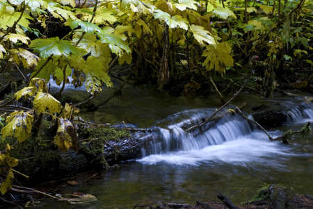 Creek cascading over a fallen log framed by Autumn yellowing Thimbleberry leaves.