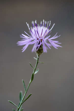 Close-up shot with shallow depth of field of the bloom of the invasive, noxious weed, Spotted Knapweed. Stock Photo